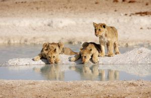 namibia-lion-cubs-2000