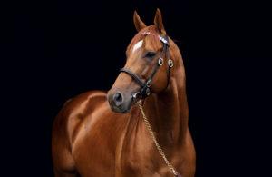stallion_Animal_Kingdom_023_Thoroughbred_stallion